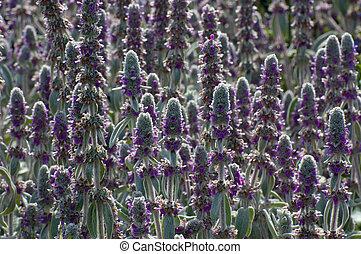 Stachys byzantina - Garden decoration plant Stachys...