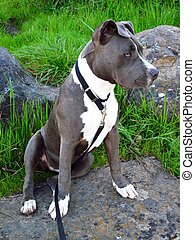 Pit Bull Puppy - An American Pit Bull puppy sits for her...