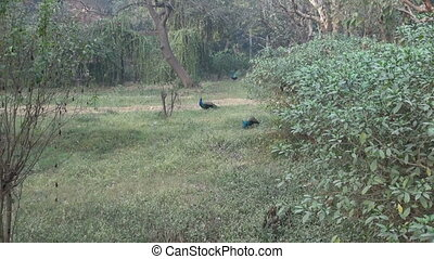 peacocks in Agra park, India