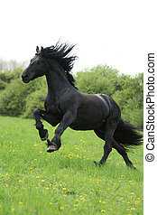 Black friesian horse runninng on pasturage with white sky