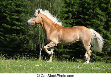 Nice haflinger stallion running on pasturage in front of...