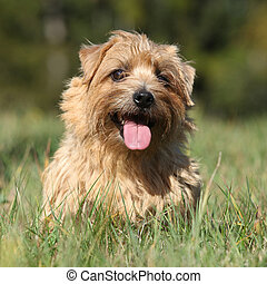 Norfolk terrier smiling at you
