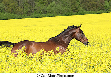 Brown horse running in yellow colza field in spring