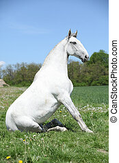 Super sitting horse in nature - Super white sitting horse in...
