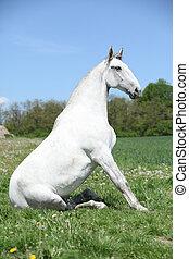 Super sitting horse in nature - Super white sitting horse in...