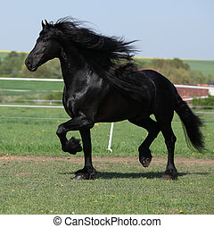 Gorgeous friesian stallion with long mane running on...
