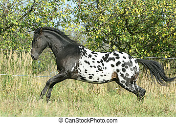 Beautiful appaloosa stallion running in autumn - Beautiful...