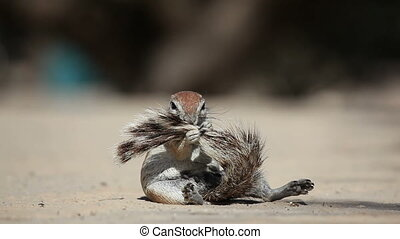 African ground squirrel (Xerus inaurus) grooming its bushy...