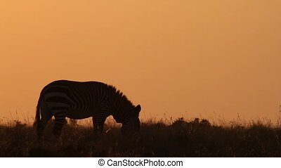 Mountain zebra at sunrise - Silhouette of a Cape Mountain...