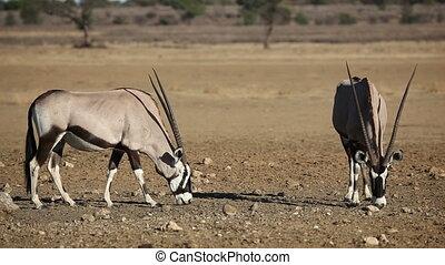 Gemsbok antelopes (Oryx gazella) eating salty soil, Kalahari...