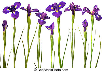 purple irises isolated on white background. Super clean...