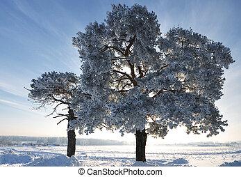 abeto, azul, Inverno, céu, árvore, fundo