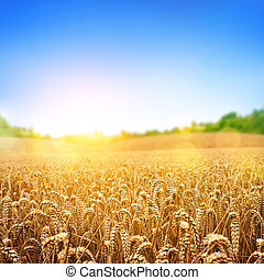 Golden Wheat Field - A wheat field, fresh crop of wheat.