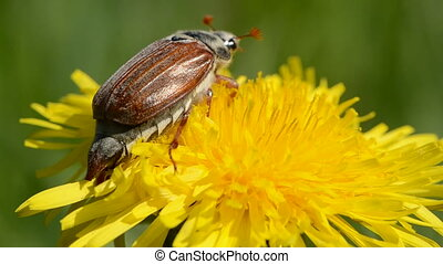 maybug beetle on yellow dandelion