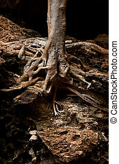 Roots of tree growing inside cave of tropical rainforest