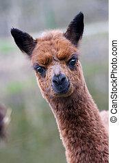 Baby alpaca - Alpaca Vicugna pacos or Lama pacos baby