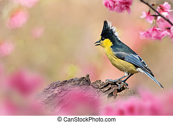 Taiwan Tit Male bird cherry - Taiwan Tit Male bird Pink...