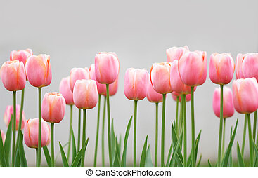 Tulips - Lots of light pink tulips in a garden