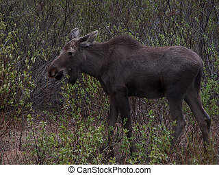 Alaska Moose - The American Moose is known as the Eurasian...