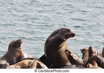 Sea lion roars at pup - Monterey Bay sea lion roars at her...