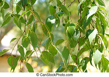 Pendulous branches with green leaves - Hanging vines with...