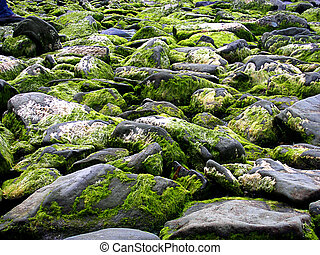 Beach stones covered with seeweeds, close up