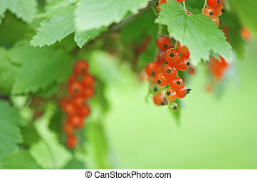 currant - macro shot of red currant