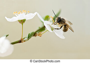 bee in cherry flower closeup