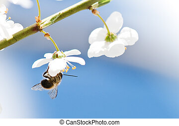 bee on cherry flower closeup