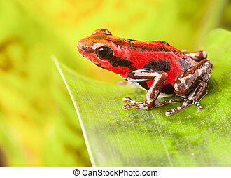 Strawberry poison dart frog - red strawberry poison dart...