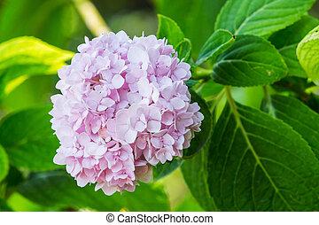 Pink Hydrangea - Close up Pink Hydrangea in garden