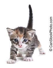 白色, 背景, 小貓