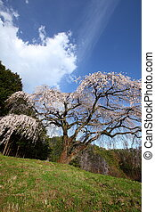 Weeping cherry tree - Okkazuma-no Shidarezakura on the hill,...