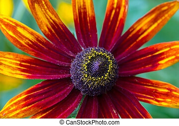 Coneflower (Rudbeckia) - Core of Coneflower (Rudbeckia).