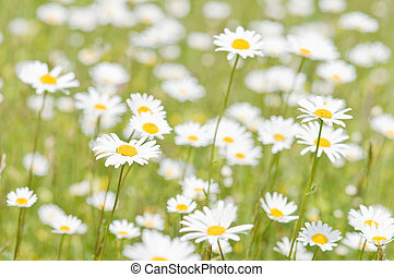chamomile - meadow of chamomile close up