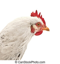 chicken head isolated on white