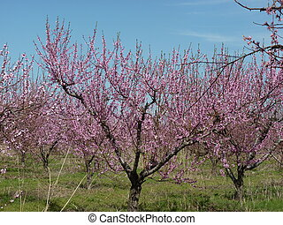 Peach orchard in Spring in full rose blossom