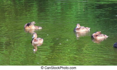 young ducks on pond