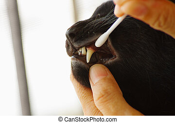 Care for cat teeth,Veterinarian cleaning teeth on a  cat