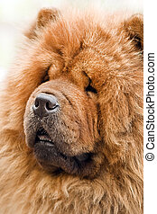 chow-chow dog portrait close up