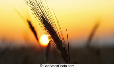 rain drops on the ear of wheat - the sunset