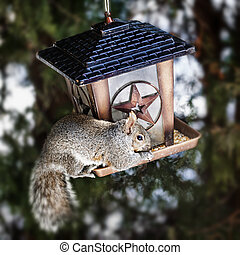 Squirrel stealing from bird feeder - Gray squirrel sitting...