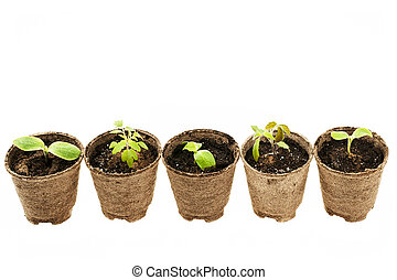 Seedlings growing in peat moss pots - Row of potted...