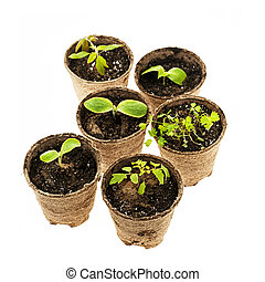 Seedlings growing in peat moss pots - Several potted...