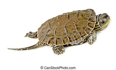 Close up of caspian turtle
