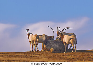 Oryx against the Sky - This is a picture Scimitar-horned...