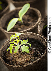 Seedlings growing in peat moss pots - Potted seedlings...