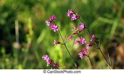 Sticky Catchfly (Viscaria vulgaris)