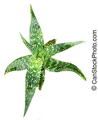 picture of aloe vera leaves detailed.