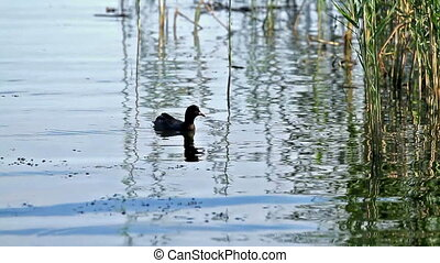 Coot  in the lake